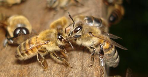 abeilles1.jpg